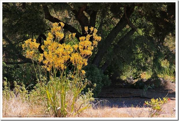 160813_UCSC_Arboretum_211