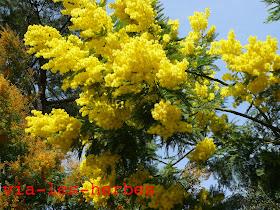 acacia dealbata2.jpg