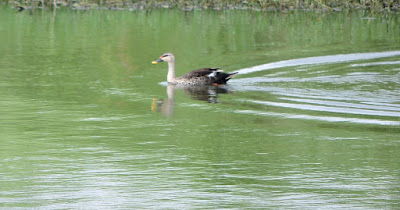 27-Aug-2011  Spot-billed Duck  Pic: Sujesh S.