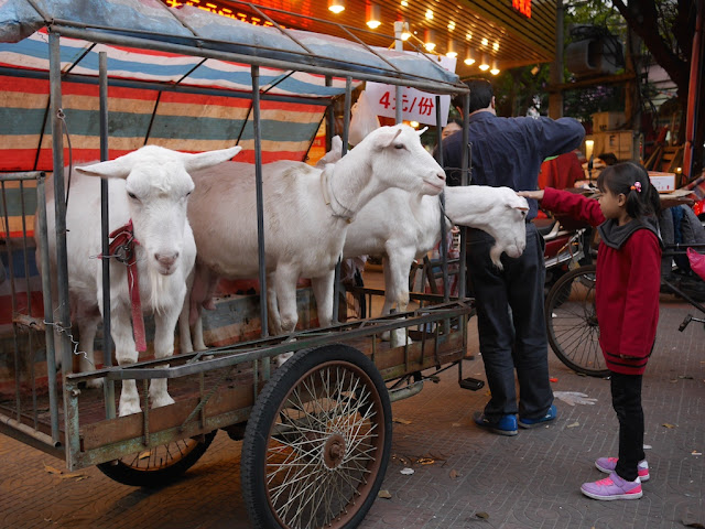 girl petting one of three goats on a tricycle cart