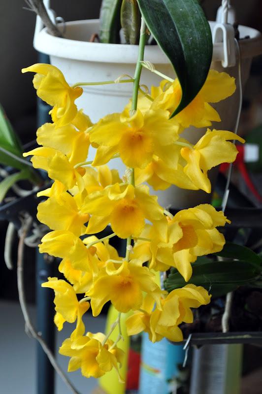 Dendrobium griffithianum [Mise à jour photos] DSC_0011