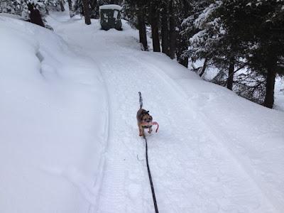 Border Terrier Charly rennt auf dem Winterwanderweg mit seiner Beute