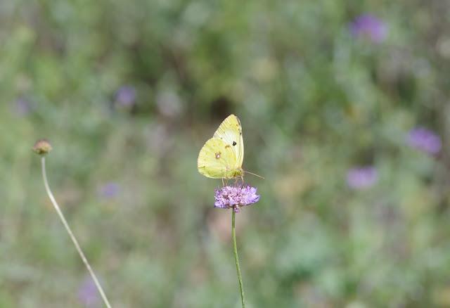 Colias alfacariensis. Les Hautes-Courennes, Saint-Martin-de-Castillon (Vaucluse), 15 juin 2015. Photo : J.-M. Gayman