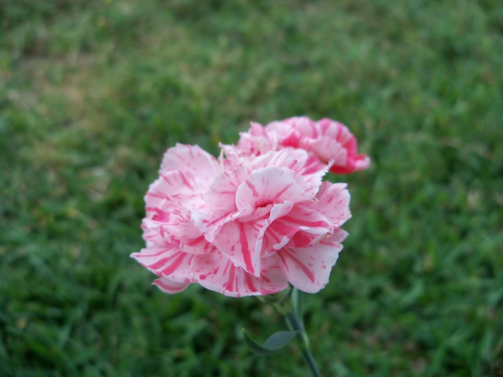 Gardening 2012 - 115_1803.JPG