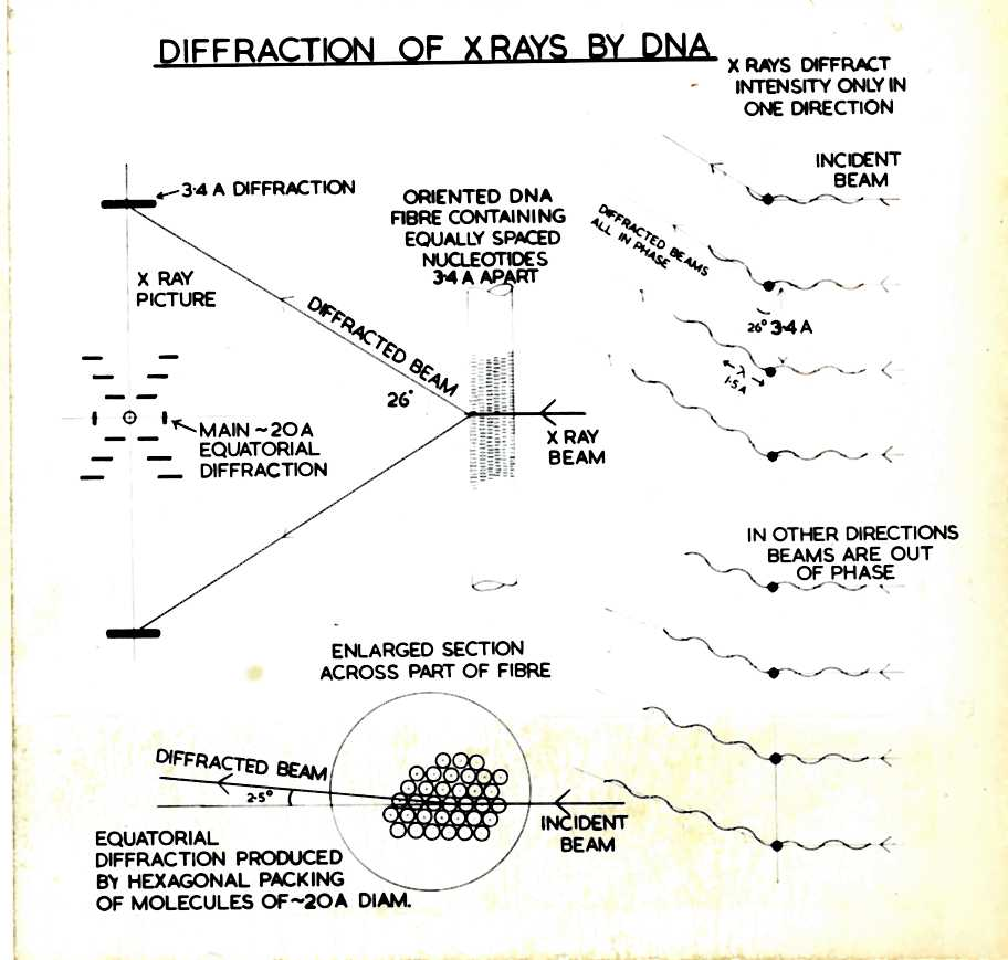 Dna and social responsibility cataloguing the personal papers of in this diagram the diffraction of the x ray beam causes an image with a helical arrangement to form as all the dna molecules in a fibre are aligned in the ccuart Image collections
