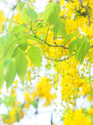 阿勃勒翠綠的葉子