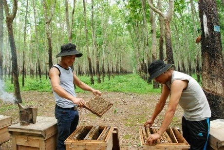 Thợ nuôi ong của trại ông Vũ Bá Đội kiểm tra định kỳ đàn ong