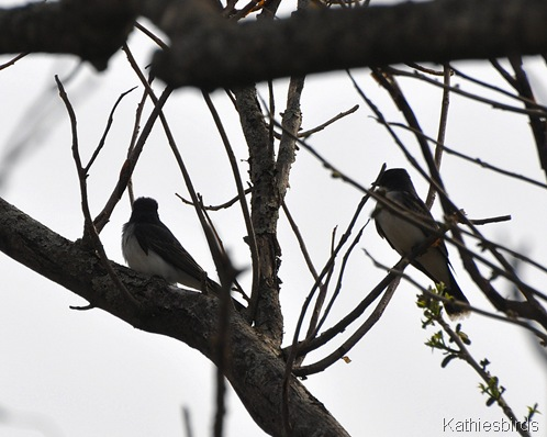 3. Eastern kingbirds in Norridgewock-kab