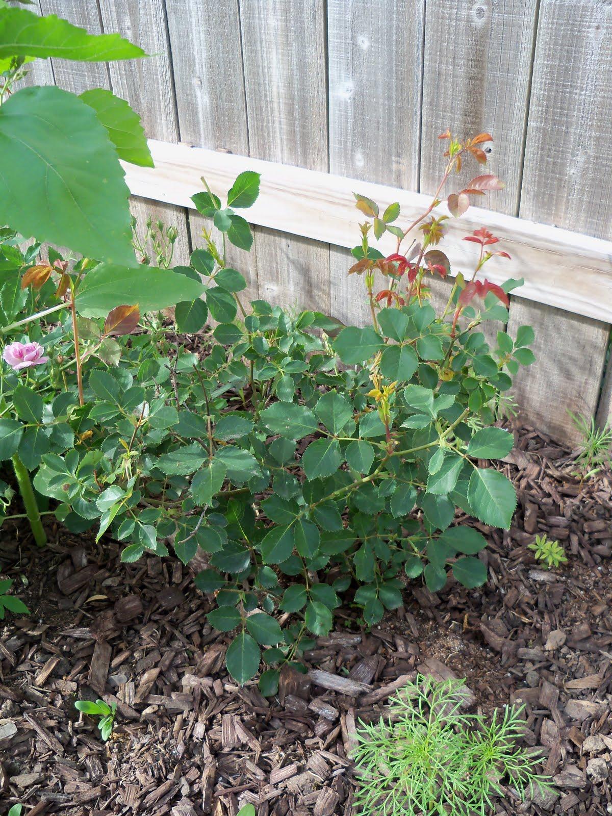 Gardening 2010 - 101_1453.JPG