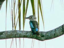 kookaburra_1L.jpg