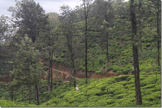 Елла Шрі-Ланка, чай