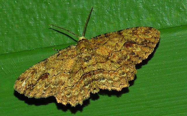 Geometridae : Ennominae : Boarmiini : Ectropis excursaria GUENÉE, 1857. Umina Beach (N. S. W., Australie), 26 décembre 2011. Photo : Barbara Kedzierski