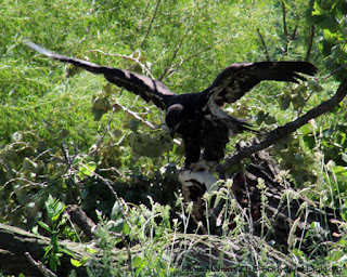 This turned out to be the middle eaglet from the GBE nest.