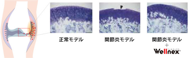 コラーゲンペプチド摂取による関節軟骨への効果