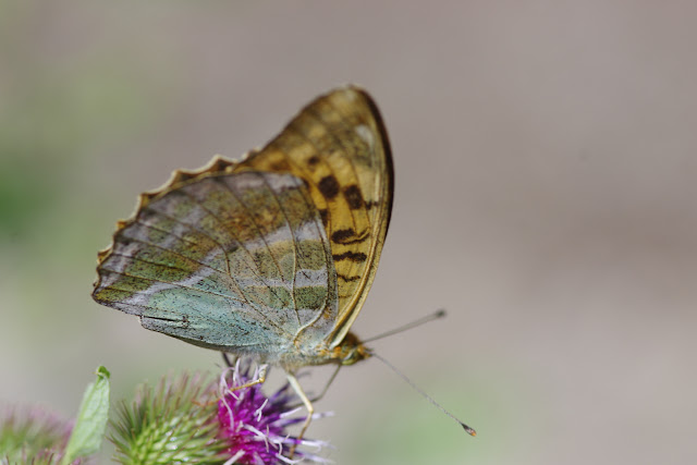 Argynnis paphia (L., 1758), femelle. Chemin de La Rodé, 620 m, Cocurès (Lozère), 8 août 2013. Photo : J.-M. Gayman