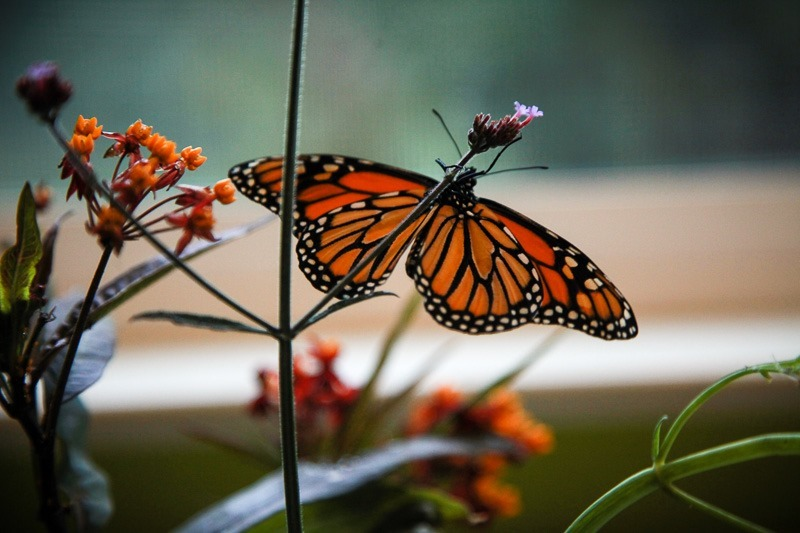monarch butterfly life cycle-4