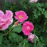 Gardening 2011 - 100_7327.JPG