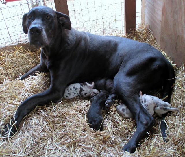 Gigi & her puppies @ 1 week