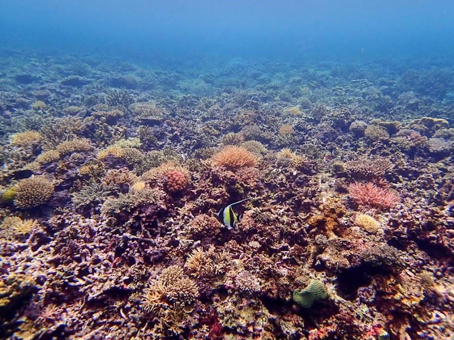 Zanclus cornutus (Moorish Idol), Small Lagoon, Miniloc Island, Palawan, Philippines.