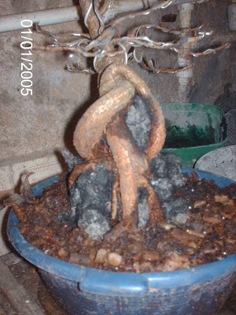 Ficus Nerifolia, Uma raiz de 3 anos... PICT1052