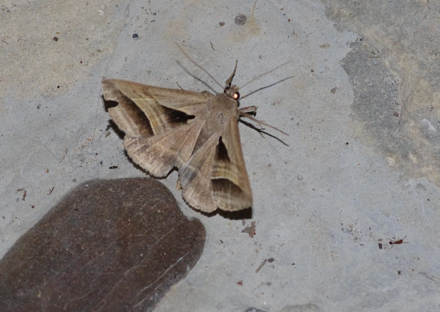 Erebidae : Catocalinae : Perasia garnoti (Guenée, 1852). Fundo Palmarito, 265 m (Yopal, Casanare, Colombie), 7 novembre 2015. Photo : J.-M. Gayman