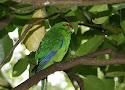 red-crowned parakeet.jpg