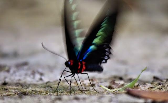 Trogonoptera brookiana brookiana Wallace, 1855, mâle. Crocker Range, Sabah (Malaisie), 7 août 2014. Photo : T. Boucher