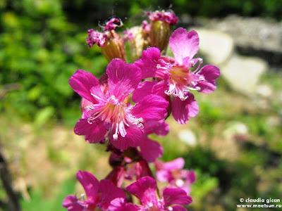 flora Macin: floare de lipicioasă - Lychnis viscaria (Viscaria vulgaris)