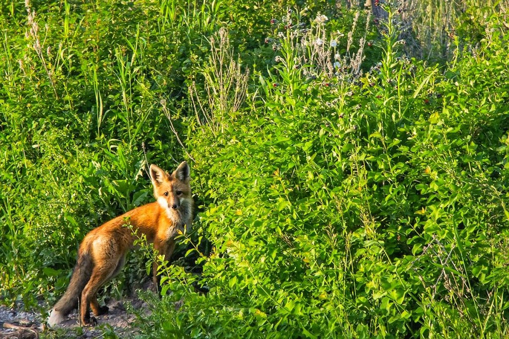 Red Fox Photo by ©Mark Mesenko www.mesenko.com