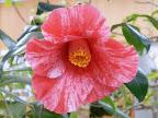 淡紅色地 濃紅色縦〜小絞りが密に入る 一重 ラッパ咲き 筒しべ 中輪