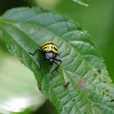 Erotylidae : Brachysphoenus sp. Tunda Loma (Calderon, Esmeraldas), 7 décembre 2013. Photo : J.-M. Gayman