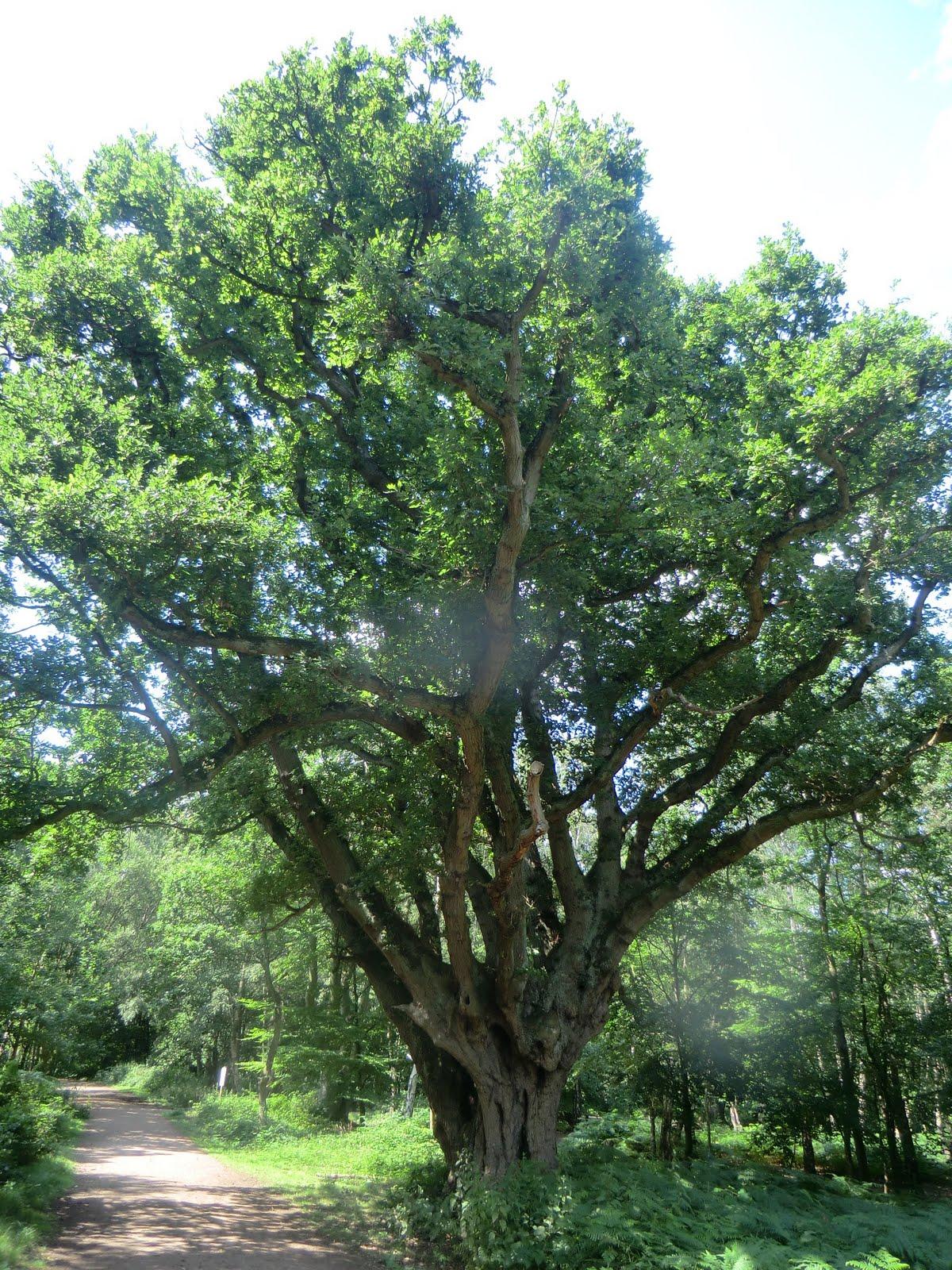 CIMG3219 Pollarded oak, Epping Forest