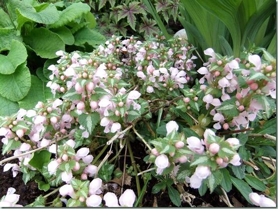 Lamium maculatum 'Pink Pewter