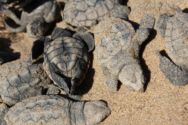 Dead turtle hatchlings at Mon Repos beach in Australia in February 2017, killed by extreme heat. The exact number of deaths is not known at this stage, but it could be in the hundreds. Photo: Jess Lodge / ABC Wide Bay