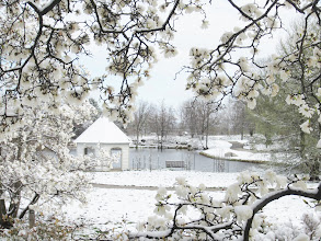 Photo: White snowed magnolias framing a pond and gazebo at Cox Arboretum in Dayton, Ohio.