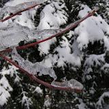 Red-osier Dogwood in late winter