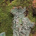 Fairy barf lichen
