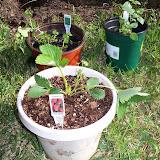 Gardening 2010 - 101_0230.JPG