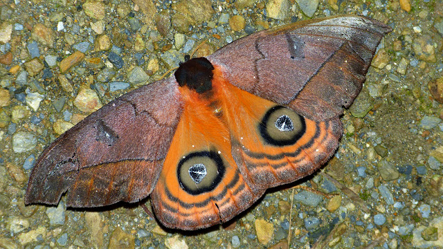 Saturnidae : Hemileucinae : Automeris amanda amanda Schaus, 1900, femelle. Chovacollo, près de Coroico, 1950 m (Yungas, Bolivie), 29 décembre 2014. Photo : Jan-Flindt Christensen