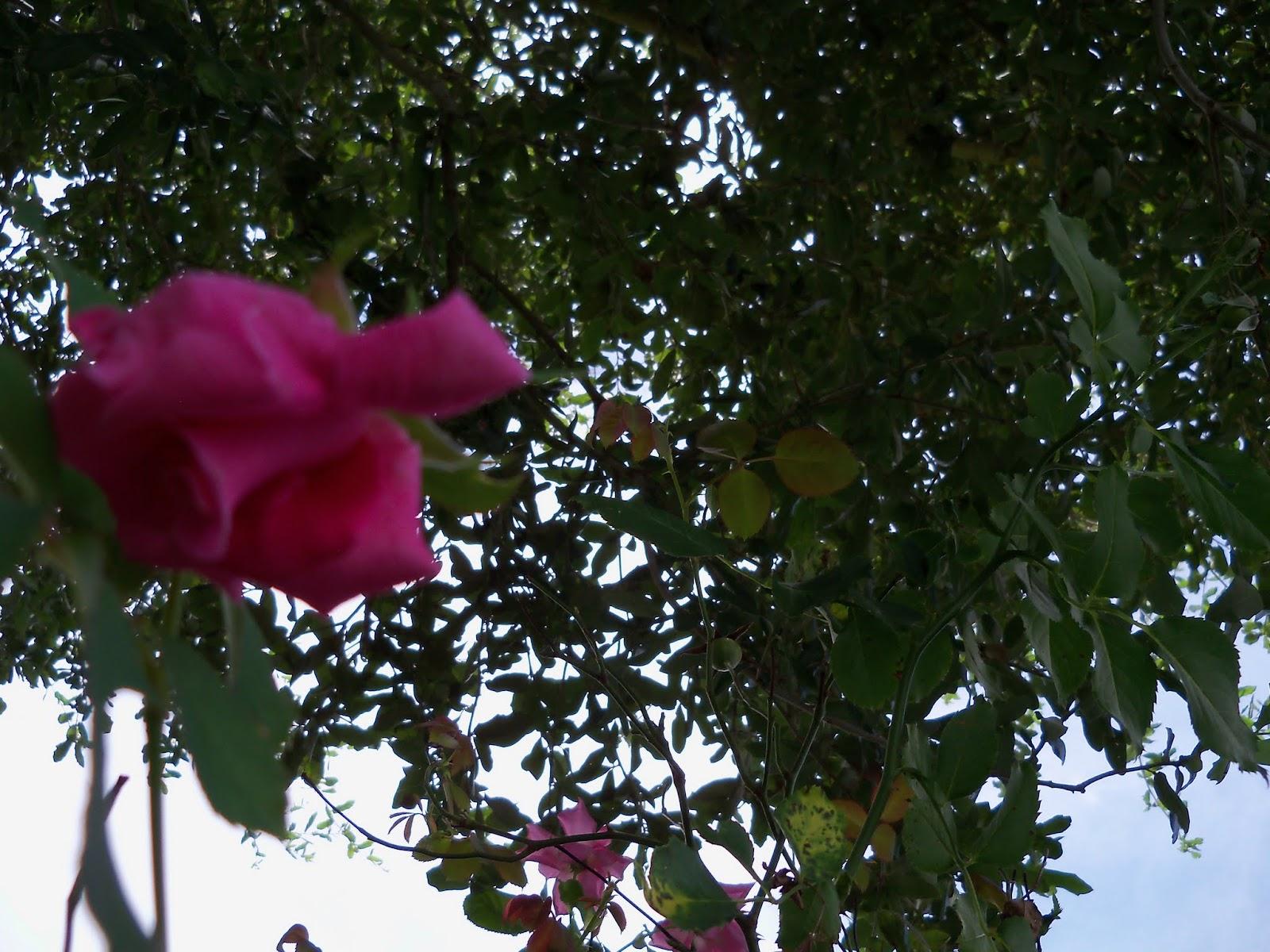 Gardening 2015 - 116_9398.JPG
