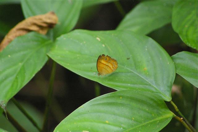 Mycalesis anapita fucienta FRUHSTORFER. Sukau (Sabah, Malaisie, Bornéo), 5 août 2011. Photo : J.-M. Gayman