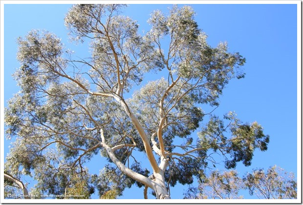 160813_UCSC_Arboretum_Eucalyptus-laeliae_008