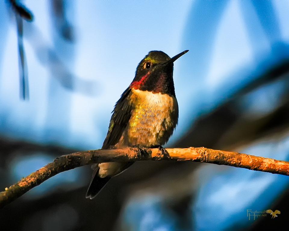 [Hummingbird%5B3%5D]