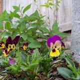 Gardening 2011 - 100_7009.JPG