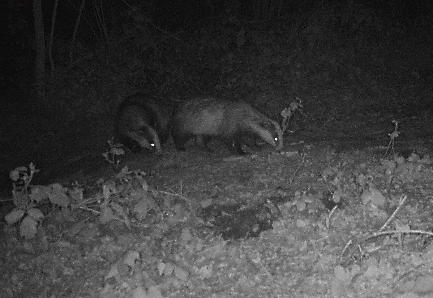 Badgerpair
