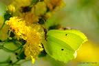 Citronsommerfugl, han, Branäs