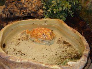 2016.07.31-027 grenouille de Cranwell