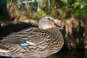 Duck, San Diego Zoo