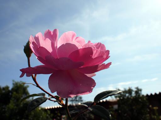 [写真]薔薇(←品種をメモってないヤツ)