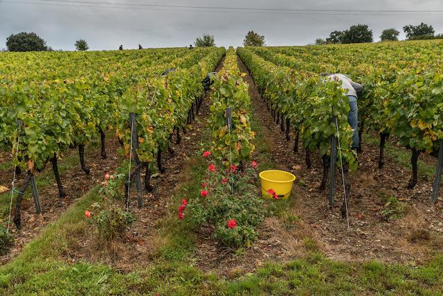 Petites vendanges 2017 du chardonnay gelé. guimbelot.com - 2017-09-30%2Bvendanges%2BGuimbelot%2Bchardonay-115.jpg